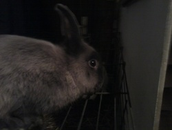 Billy, rongeur Lapin