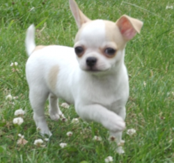Billy, chien Chihuahua