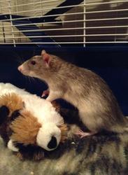 Billy, rongeur Rat