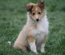 Billy, chien Berger des Shetland