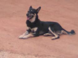 Billy Black, chien