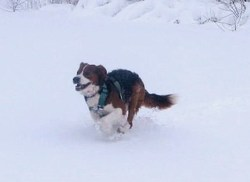 Billy Elliot, chien Beagle-Harrier