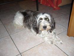 Billy Le Griffon , chien
