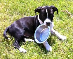Billy Ray, chien American Staffordshire Terrier