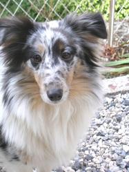 Bilma, chien Berger des Shetland