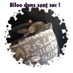 Biloo, chien Chihuahua