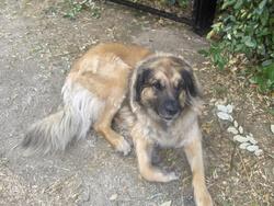 Bilou, chien Leonberger