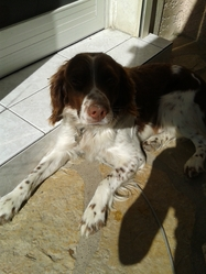 Bilou, chien Springer anglais