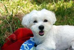 Bilouche, chien Bichon maltais