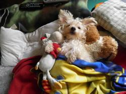 Biloute, chien Bichon à poil frisé