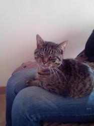 Biloute, chat Européen