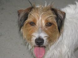 Biloutte, chien Jack Russell Terrier