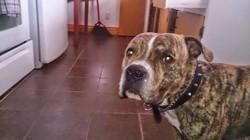 Bily, chien Bouledogue français