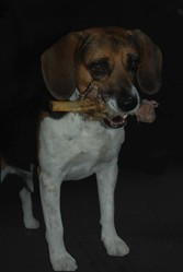 Bimbo, chien Beagle