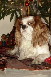 Bimbo Des Coeurs Tendres, chien Cavalier King Charles Spaniel