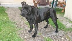 Gucci, chien Staffordshire Bull Terrier