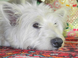 Bingo Boy, chien West Highland White Terrier