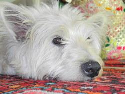 Bingo Boy, chien West Highland White Terrier