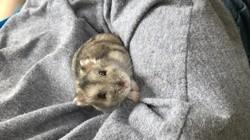 Binou, rongeur Hamster