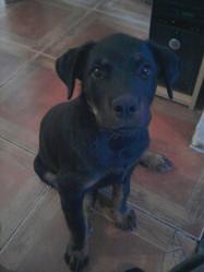 Binouse, chien Rottweiler