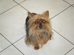 Beeper, chien Yorkshire Terrier