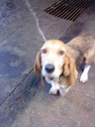 Biquette, chien Basset artésien normand
