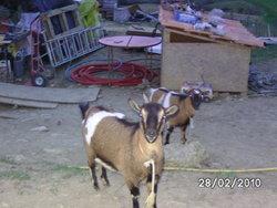Biquettes Et Biquette Chèvres, autres
