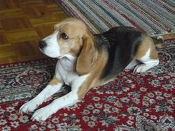 Biscotte, chien Beagle