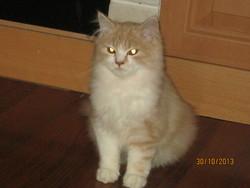 Biscotte, chat Persan