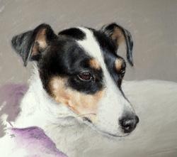 Biscotte, chien Jack Russell Terrier