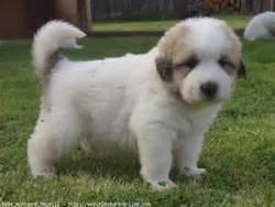 Biscotte, chien Chien de montagne des Pyrénées