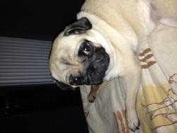 Biscotte, chien Carlin