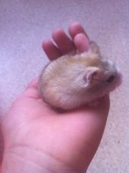 Biscotte, rongeur Hamster