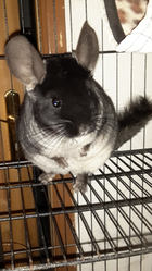 Biscotte, rongeur Chinchilla
