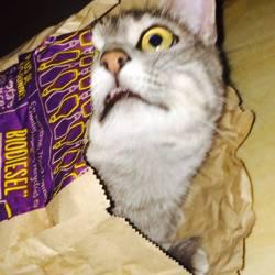Biscotte, chat