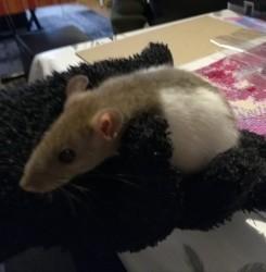 Biscotte, rongeur Rat