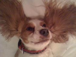 Biscotte, chien Cavalier King Charles Spaniel