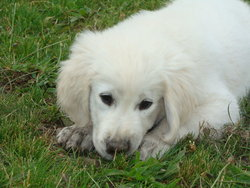 Biscui, chien Golden Retriever