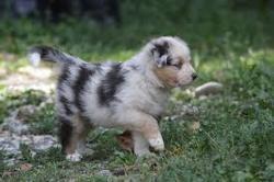 Biscuit, chien Berger australien