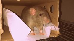 Bishop, rongeur Rat