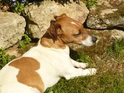 Biskit, chien Jack Russell Terrier