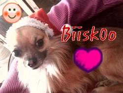 Bisou, chien Chihuahua
