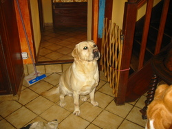 Bisou, chien Labrador Retriever