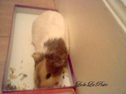 Bisous Décédé, rongeur Cochon d'Inde