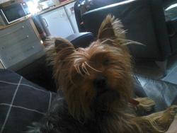 Bisous, chien Yorkshire Terrier