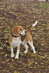 Bisquit, chien Beagle