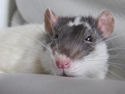 Bister T, rongeur Rat