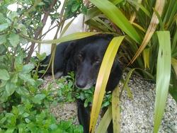 Bistouille, chien Berger belge