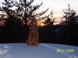 Bistro, chien Golden Retriever