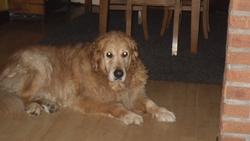 Bjorg, chien Golden Retriever